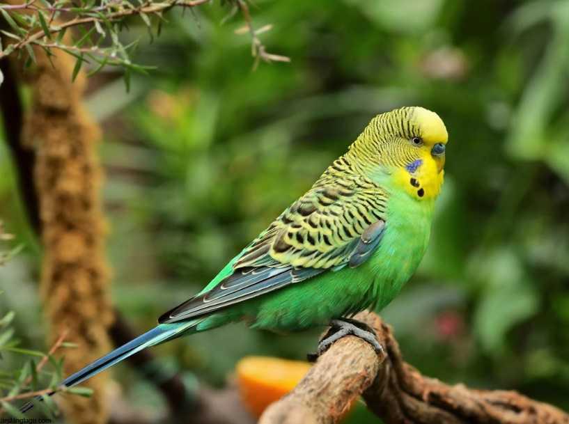 Jumbo Muhabbet Kuşları