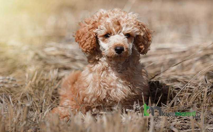 Kaniş cinsi köpek bakımı