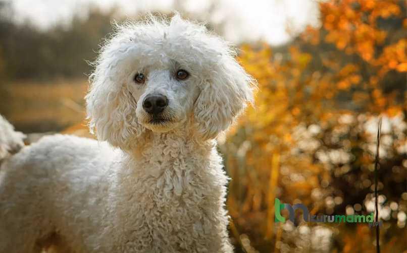 Kaniş cinsi köpek eğitimi