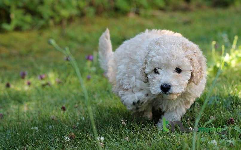 Kaniş cinsi köpek karakteri