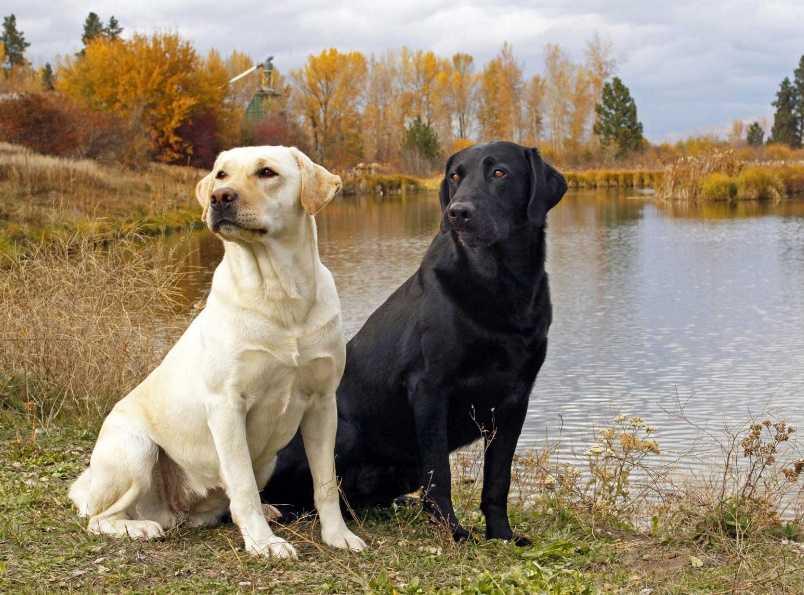 Labrador Cinsi Köpekler