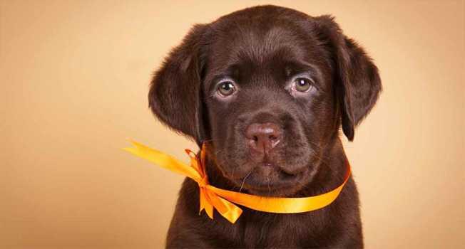 Labrador Retriever İlginç Bilgiler