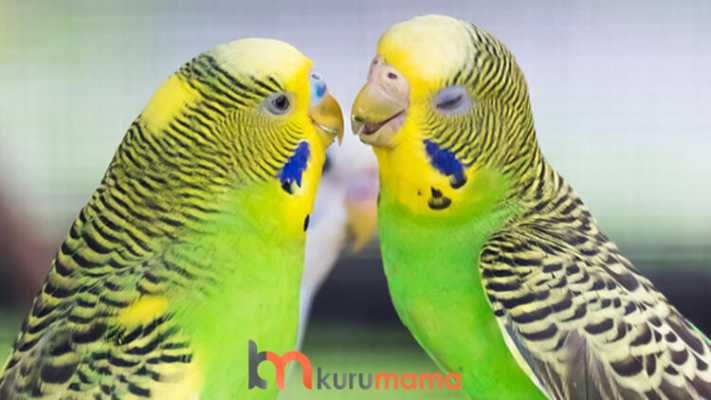muhabbet kuşu eğitim