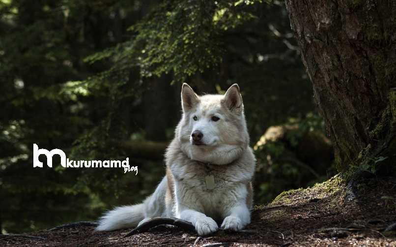 Sibirya Kurdu Fiziksel Özellikleri