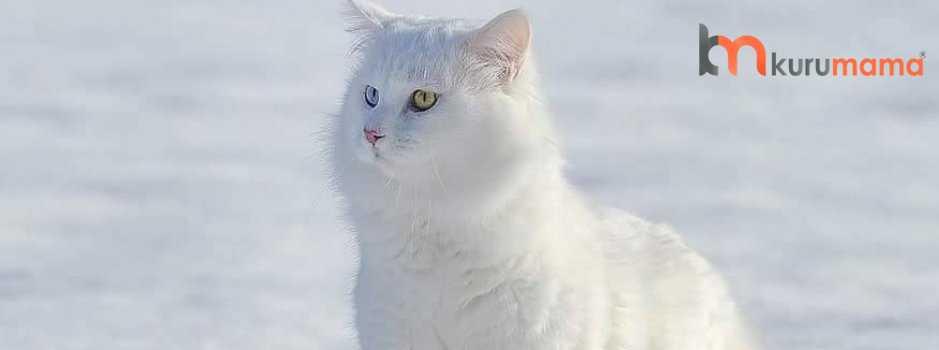 van kedisi özellikleri