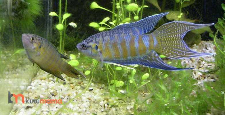 cennet balığı özellikleri
