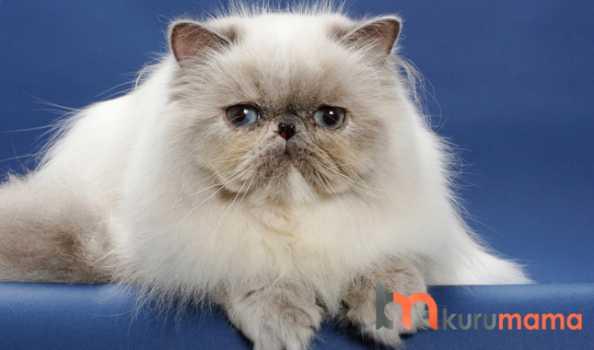 iran kedisi özellikleri
