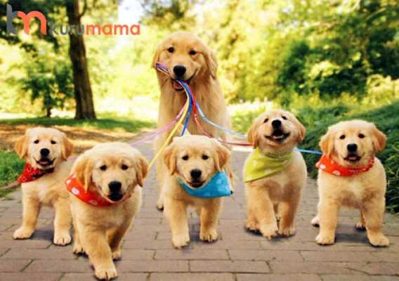 köpeklerde hamilelik dönemi