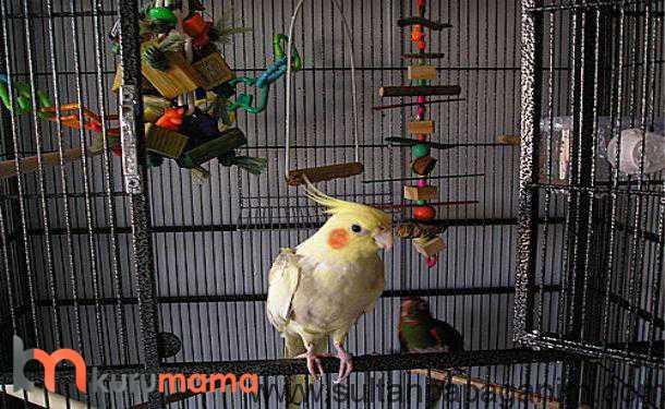 sultan papağanı ve özellikleri