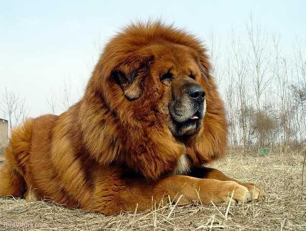 Tibet Mastifi