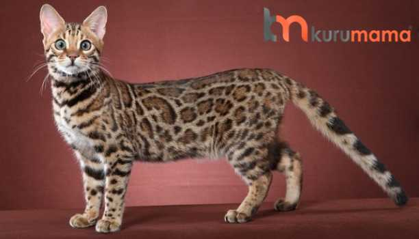 bengal kedisi özellikleri