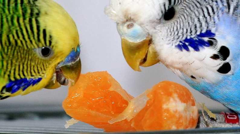 Muhabbet kuşlarına yem alırken nelere dikkat edilmelidir?