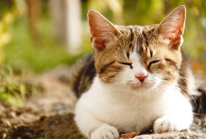 Kedilerde Gençlik Hastalığı