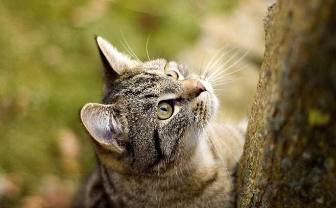 Kedilerde şeker hastalığı belirtileri
