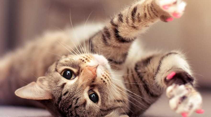 Kedilerde Tüy Bakımı