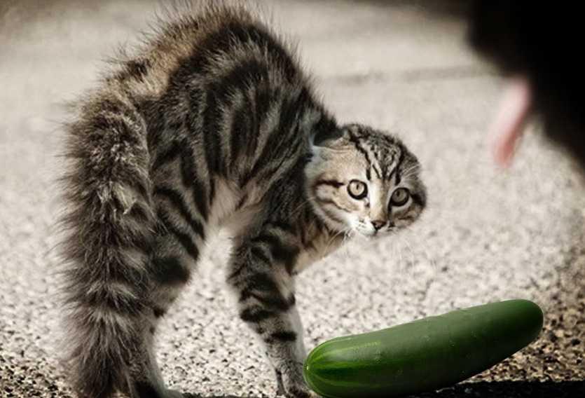 Kedilerin salatalık fobisi