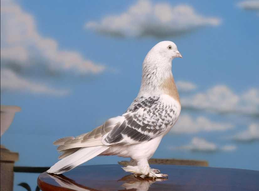 Azman beyaz güvercin