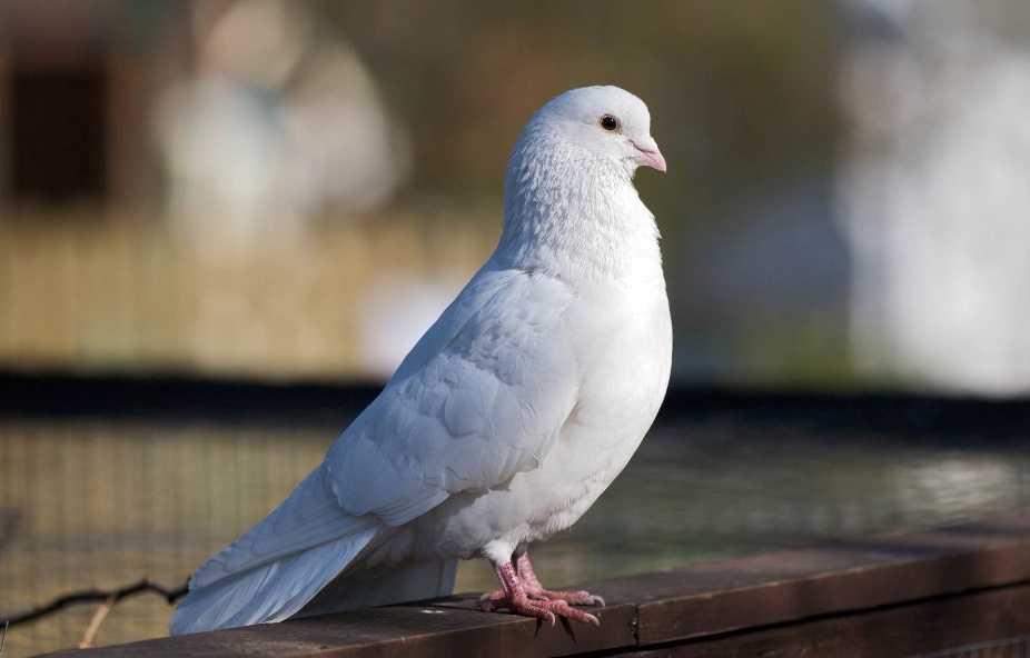 Bango beyaz güvercin