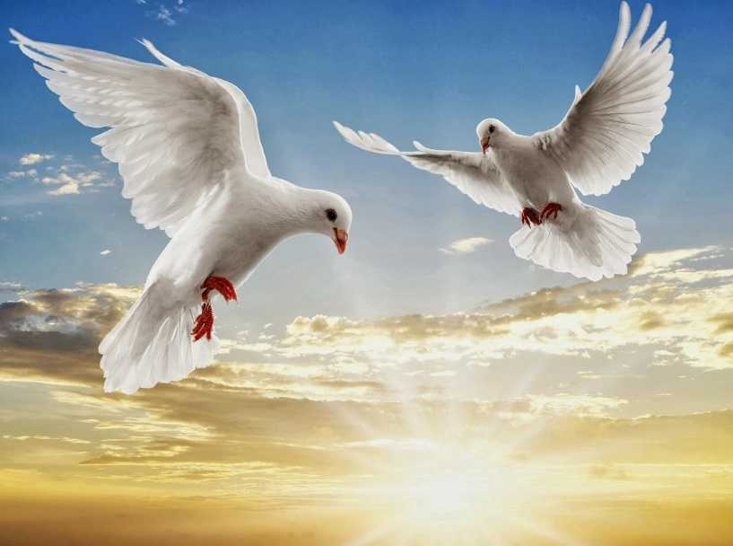 Beyaz güvercinler