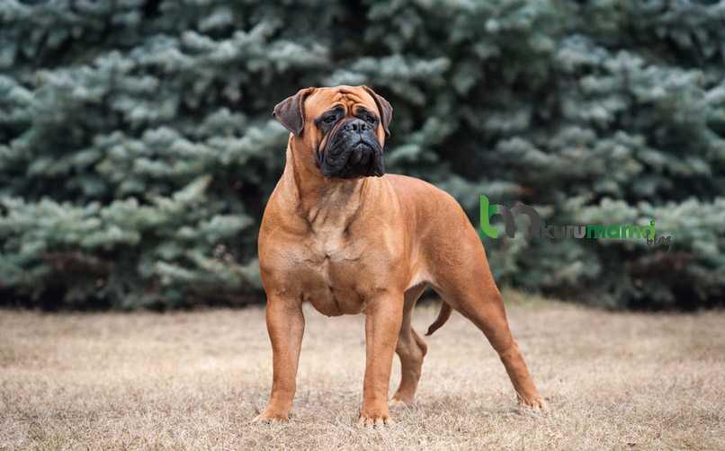 Bullmastiff Köpeği Bakımı