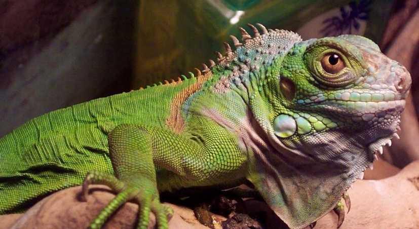 iguanalar
