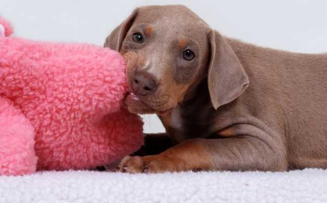 Köpeklerde eşya çiğneme nasıl durdurulur?