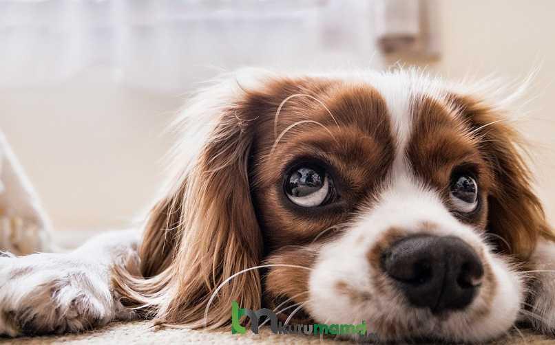Köpeklerde Kanser Belirtileri Nelerdir?