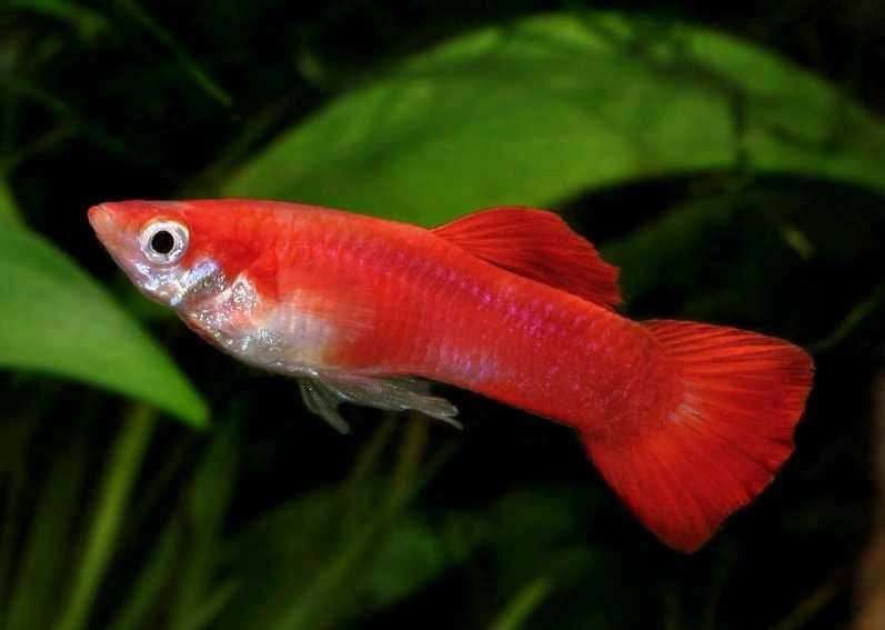 Lepistes balığı
