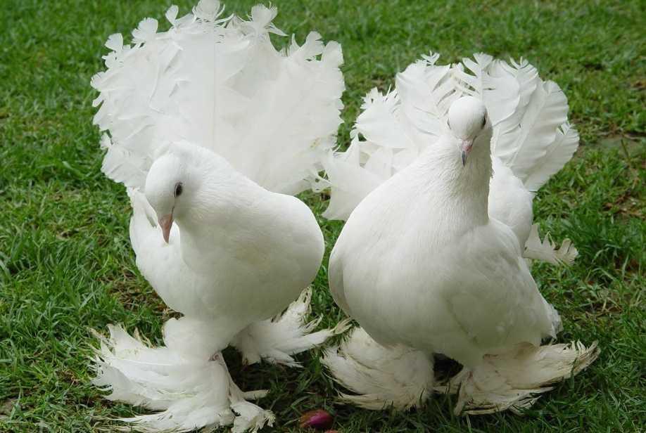 Selçuklu beyaz güvercin