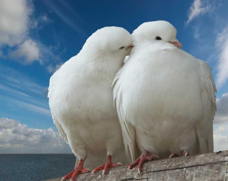 Trakya beyaz güvercin