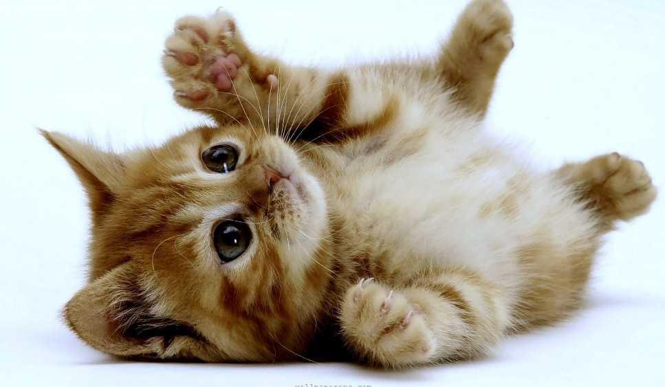 Yavru kediler neden ısırır?