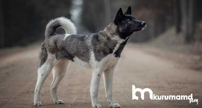 Akita Köpeklerinin fiziksel özellikleri