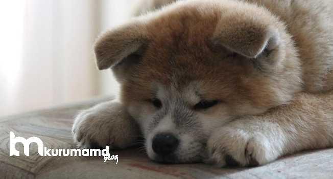 Akita Köpeklerinin sağlık