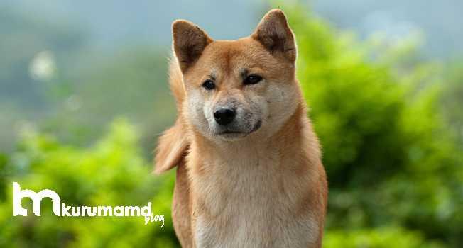 Akita cinsi köpek tarihi ve kökeni