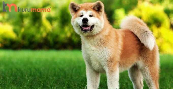 akita köpeği özellikleri