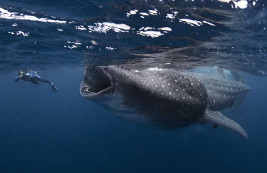 Balina köpek balıkları dünyanın en büyük yumurtasına sahip deniz hayvanlarıdır.