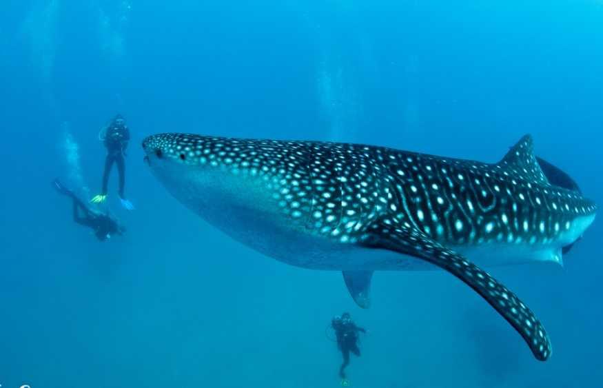 Balina köpek balıkları, 18 metre uzunluğunda ve yaklaşık 12 ton ağırlığındadır