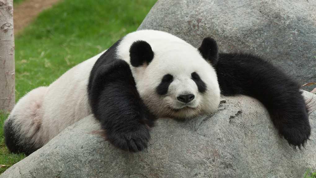 Çin'de panda öldürmenin cezası idamdır.