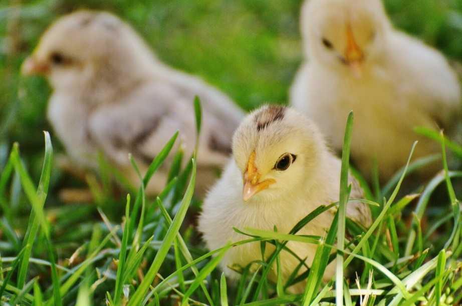 civcivler henüz yumurtadan çıkmadan diğer civcivlerle ve anneleriyle iletişim kurabilirler.