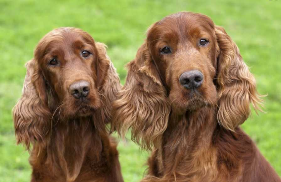 erkek köpekler dişi köpeklere yenilirler.