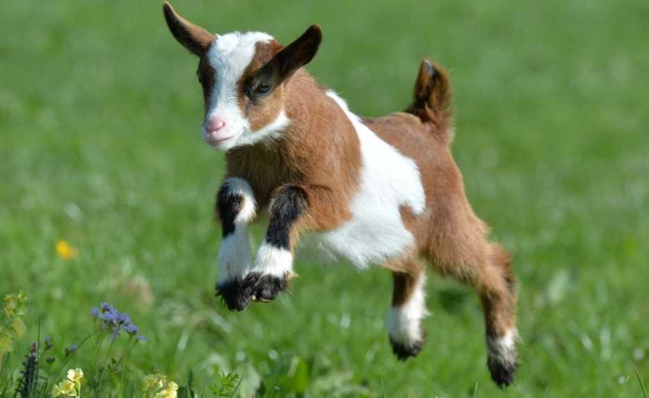 keçilerin insanlar gibi şiveleri vardır