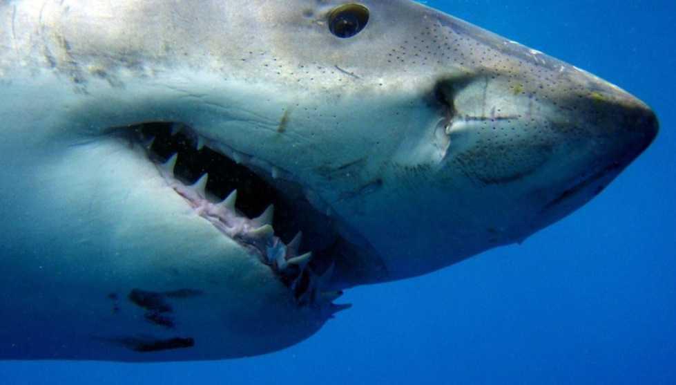 Köpekbalıkları