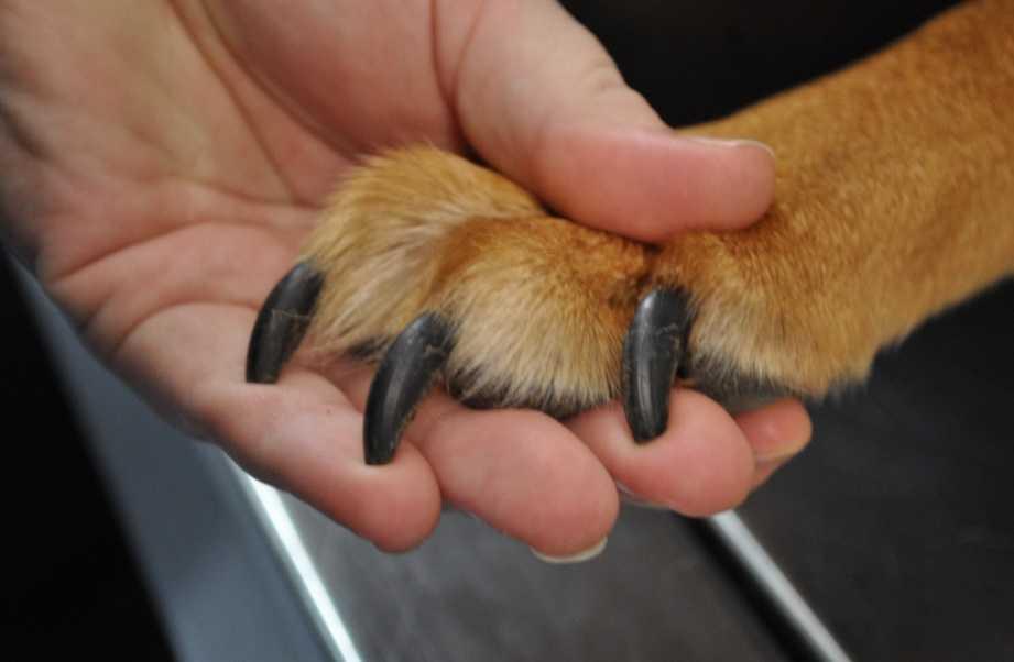 Köpeklerde pati ve tırnak bakımı