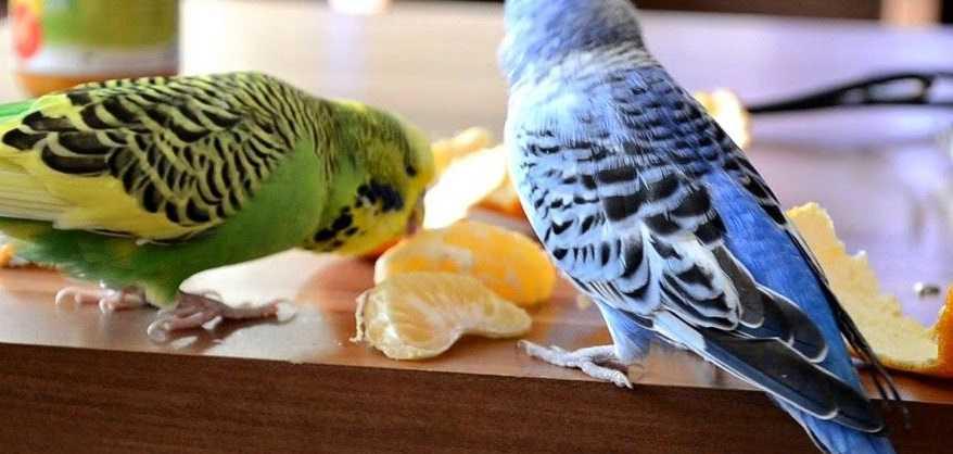 Kuşlarda Yumurta Tıkanması / Sıkışması