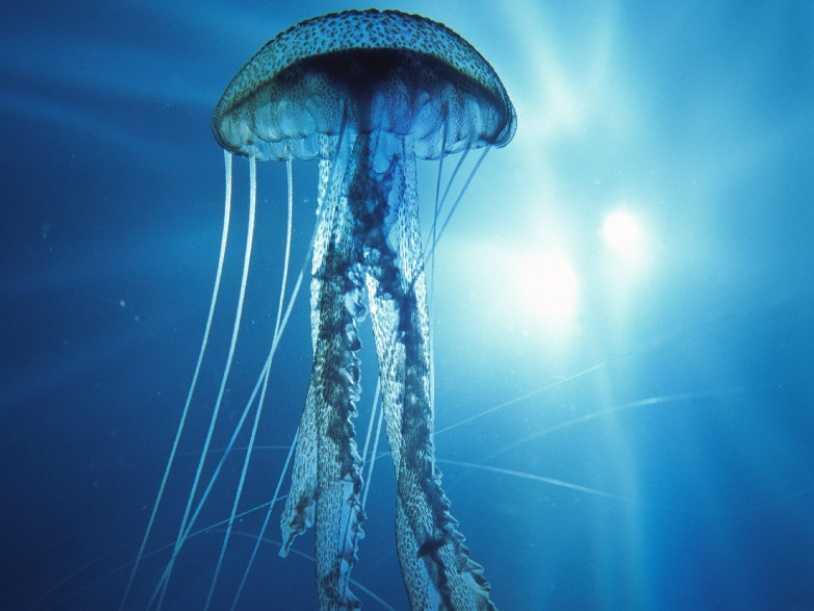 kutup deniz anasının dokunaçları 36 metre uzunluğundadır.