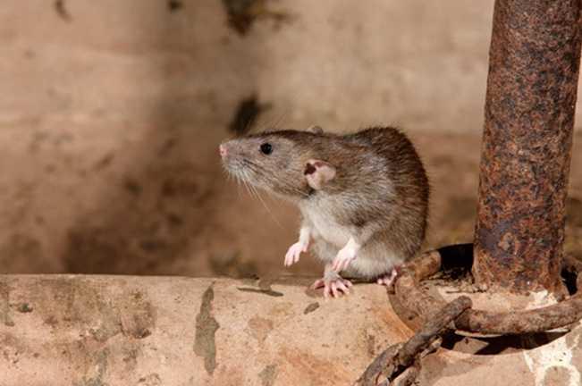 Lağım faresi (sıçan)
