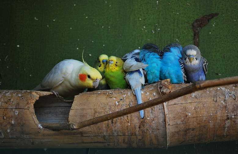 Muhabbet kuşları hakkında bilgiler