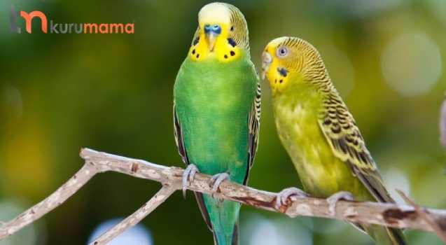 muhabbet kuşu hakkında bilgiler