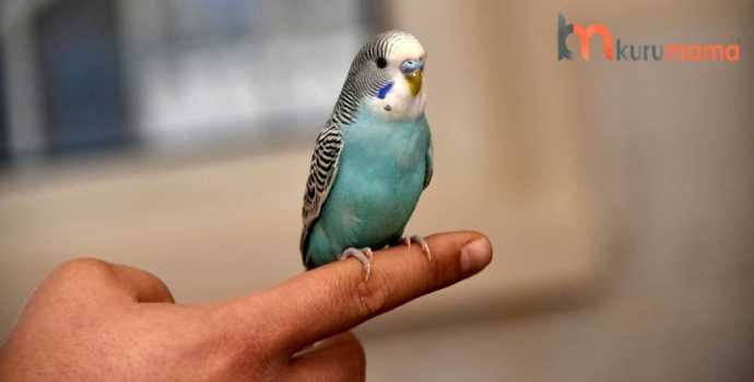 muhabbet kuşu eğitimi