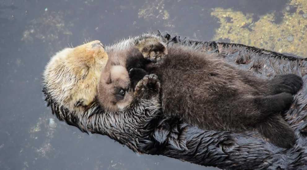 Su samurları uyurken el ele tutuşurlar